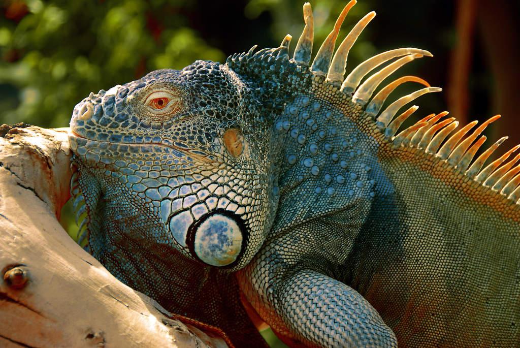 Bildvorstellung #2 – grüner Leguan