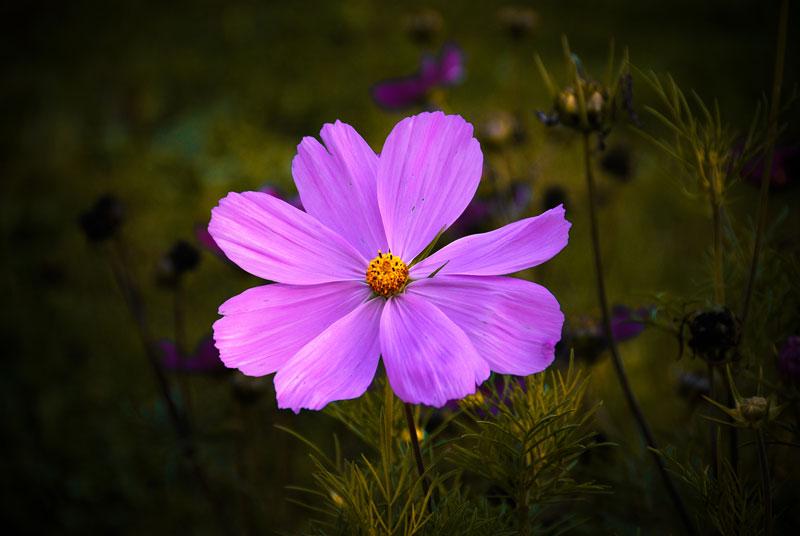 Bildvorstellung #4 – pinke Blüte