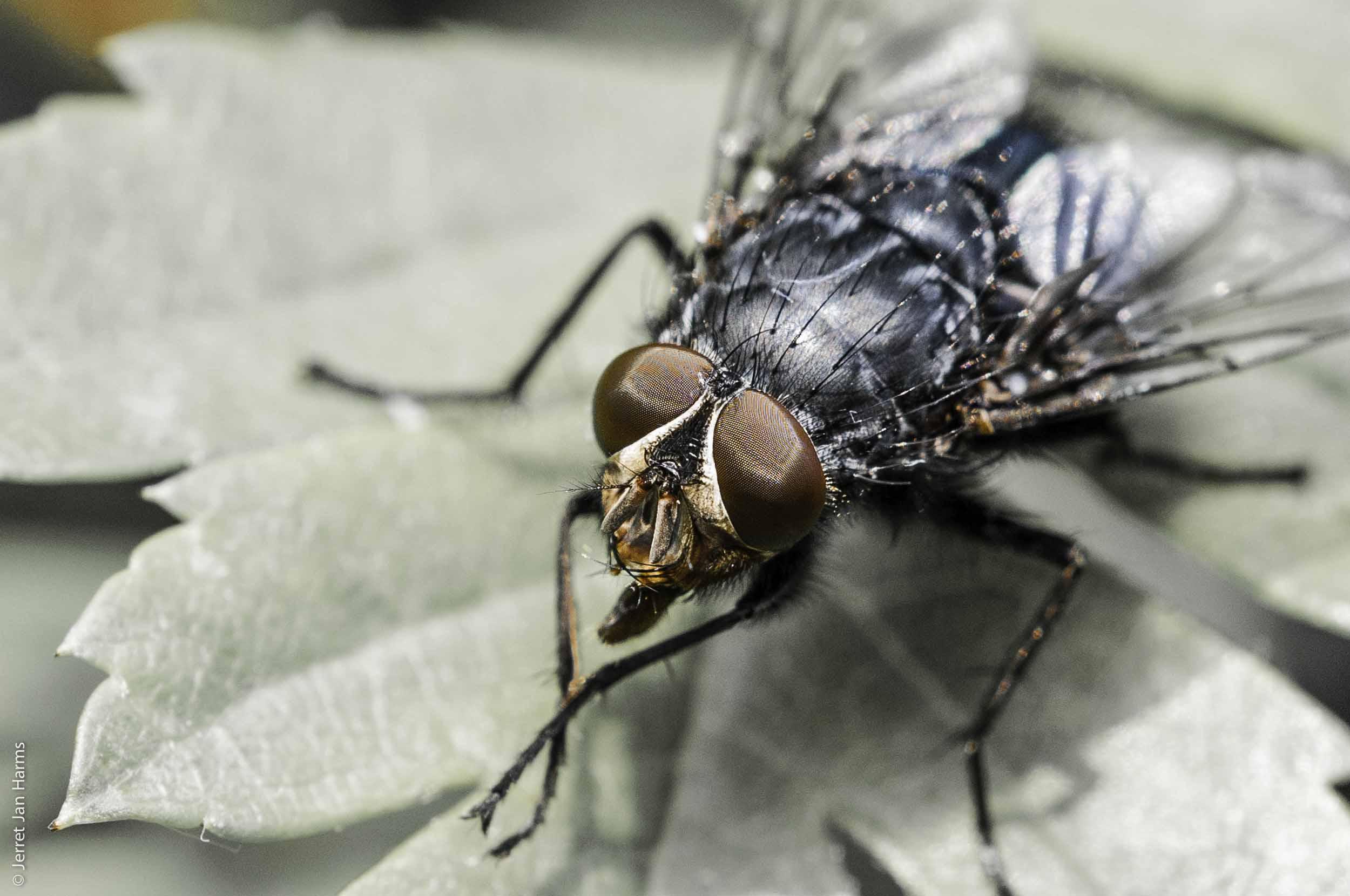 Bildvorstellung #9 – Fliege